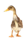 LITTLE DUCKLING stock photography
