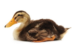 LITTLE DUCKLING Stock Image