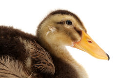 LITTLE DUCKLING Royalty Free Stock Photos