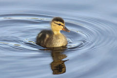 Free Little Duckling Stock Images - 92597544