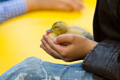 Little duckling in children& x27;s hands Royalty Free Stock Images