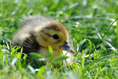 Little  duckling on the green grass Stock Photography