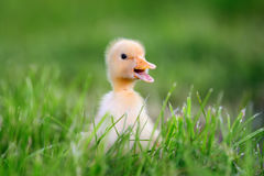 Little duckling on green grass Royalty Free Stock Image