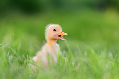 Little duckling on green grass Royalty Free Stock Images