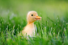 Little duckling on green grass Stock Images
