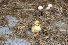 Little duckling on hay. Dry grass. In a blur of  eggs stock image