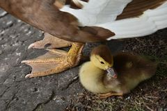 Little duckling with mother. Little duckling hide near mother Stock Images