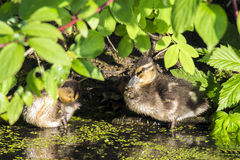 Little duckling hiding in the leaves. Stock Images