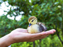 Little duckling in a man's hand Stock Photos