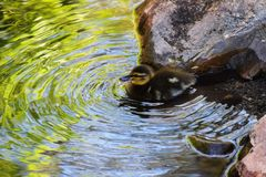 Little Duckling Playing in the River. Photo of a little duckling playing in the little river in the park Royalty Free Stock Images