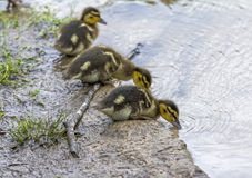 Little duckling standing on shore of a lake royalty free stock photography