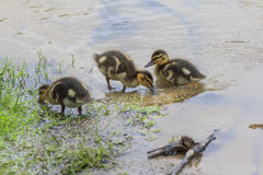 Little duckling standing on shore of a lake stock photography
