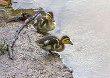 Little duckling standing on shore of lake royalty free stock images