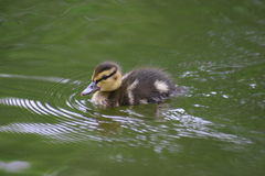 Little duckling in water Royalty Free Stock Images