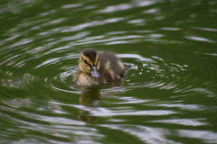Little duckling in water Royalty Free Stock Photography