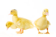 Little duckling Royalty Free Stock Images