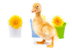 Little duckling on a white background Royalty Free Stock Image