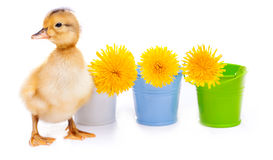 Little duckling on a white background Stock Images