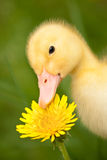 Little duckling Royalty Free Stock Photography