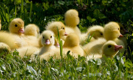 Little ducklings Royalty Free Stock Image
