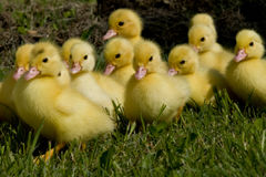 Little ducklings Stock Photography