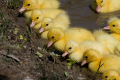 Free Little Ducklings Stock Images - 18976544