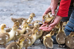 Little ducklings Stock Photos