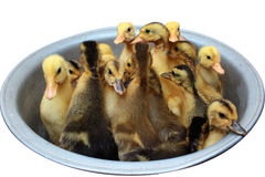 Little ducklings in a bowl Stock Photography