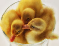 Little Ducklings in a Bowl. Three fluffy ducklings in a little bowl Royalty Free Stock Images