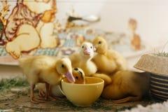 Little ducklings drink water Stock Photo