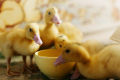 Little ducklings drink water Royalty Free Stock Photography