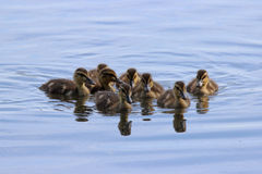 Little Ducklings. A group of little mallard ducklings swimming on a pond Stock Photos