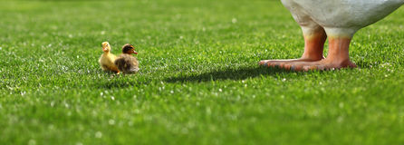 Little ducklings playing on grass Royalty Free Stock Images