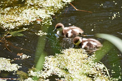 Little ducklings in a pond Royalty Free Stock Photography