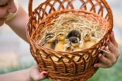 Little ducklings sitting on hay in a wicker basket. stock photography