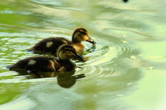 Little ducklings swimming in  green water pond Royalty Free Stock Images