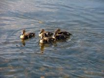 Little ducklings swimming in a group. On clear water Royalty Free Stock Photo