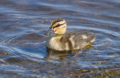 Little ducklings in the water Stock Photos