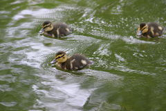 Little ducklings in water Royalty Free Stock Photography