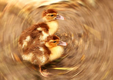Little ducklings Royalty Free Stock Photography