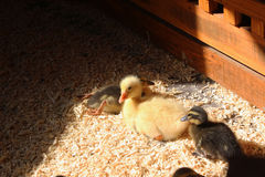 Little ducklings. Young yellow ducklings on the floor fluffy ducklings ducks nature fauna farm stock photos