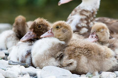 Little ducks Royalty Free Stock Photos