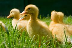 Little ducks Stock Photos