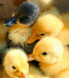 Little ducks. A small cluster of baby ducklings Royalty Free Stock Photos