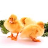 Little ducks Stock Image