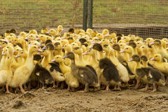 Little ducks in farm. Ducklings in farm of fua Royalty Free Stock Images
