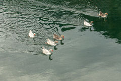 Little ducks. Floating on the river Royalty Free Stock Images