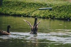 Little ducks are having fun swimming. royalty free stock photo