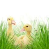 Little ducks on meadow Stock Photos