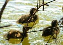 Little ducks Royalty Free Stock Image